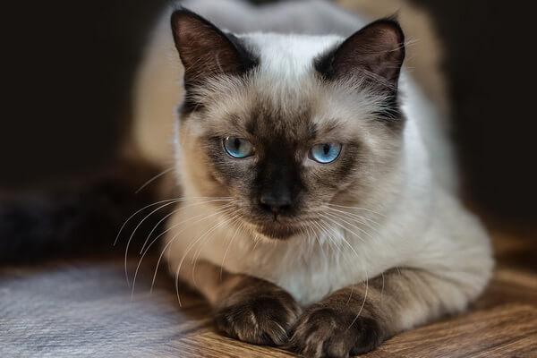 Кошки-интроверты - породы с фото и описанием - Рэгдолл