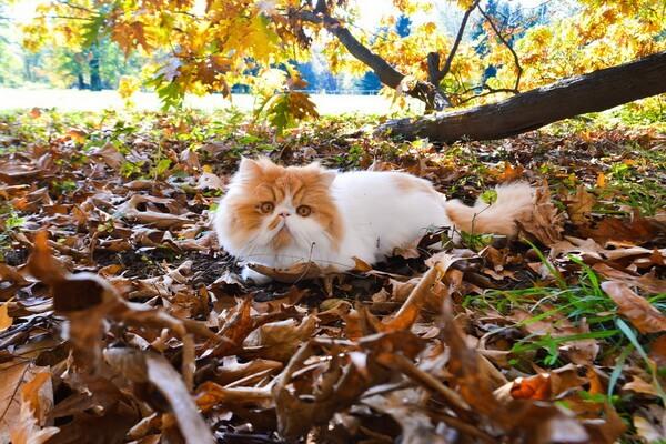 Кошки-интроверты - породы с фото и описанием - Персидская кошка