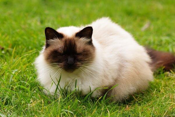 Кошки-интроверты - породы с фото и описанием - Гималайская кошка
