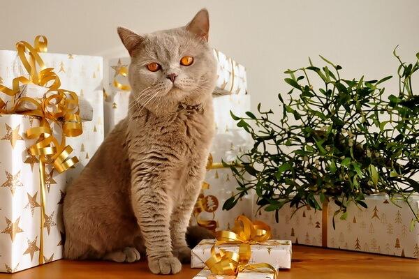Кошки-интроверты - породы с фото и описанием - Британская короткошёрстная кошка