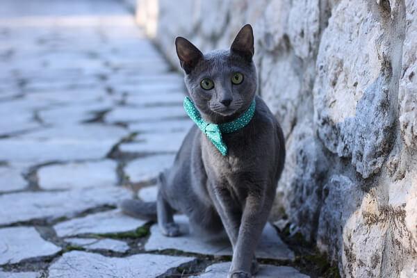 Кошки-интроверты - породы с фото и описанием - Русская голубая кошка