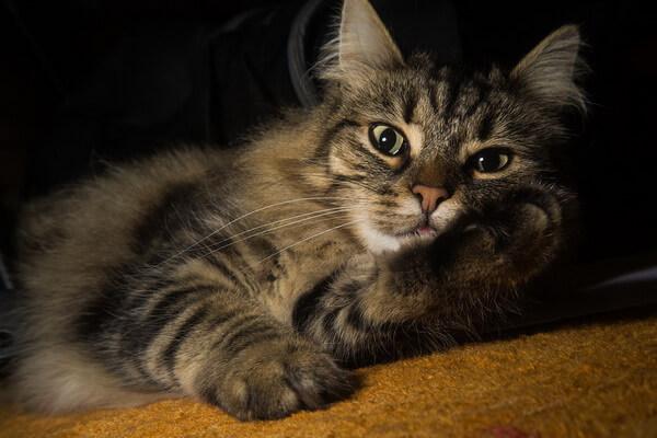 Кошки-интроверты - породы с фото и описанием - Норвежская лесная кошка