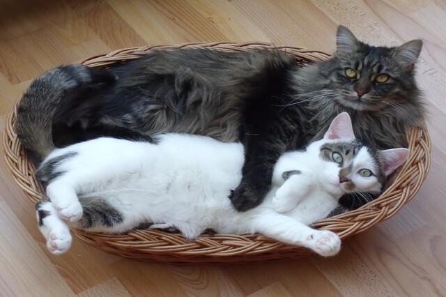 Кошки-интроверты - породы с фото, названиями и описанием