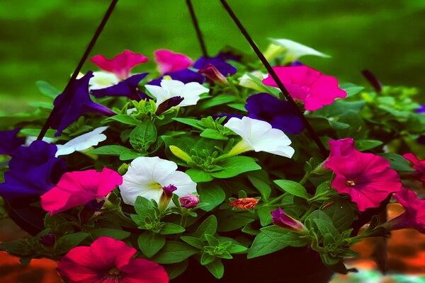 Красивые ампельные цветы с фото и описанием - Петуния