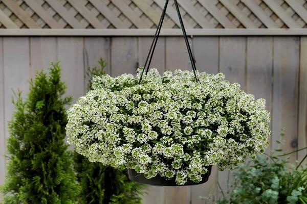 Красивые растения для подвесных кашпо - Газонница приморская