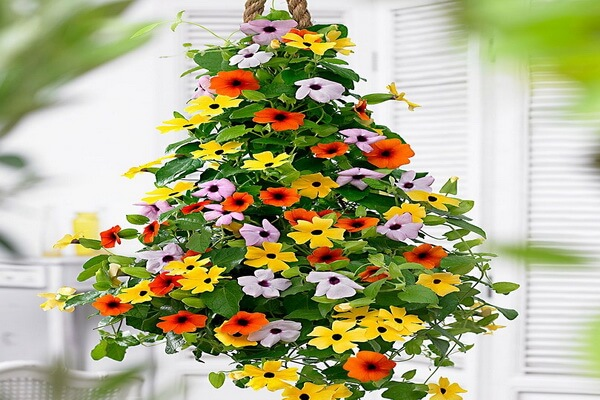 Красивые ампельные цветы с фото и описанием - Тунбергия крылатая