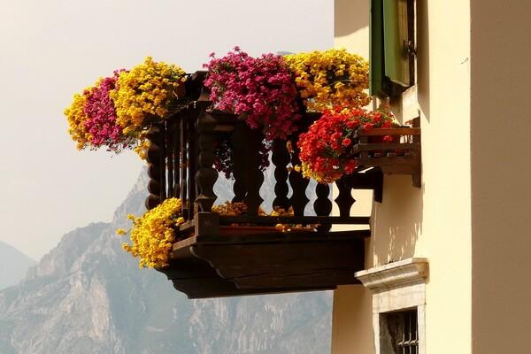 Красивые ампельные цветы с фото и описанием - Герань