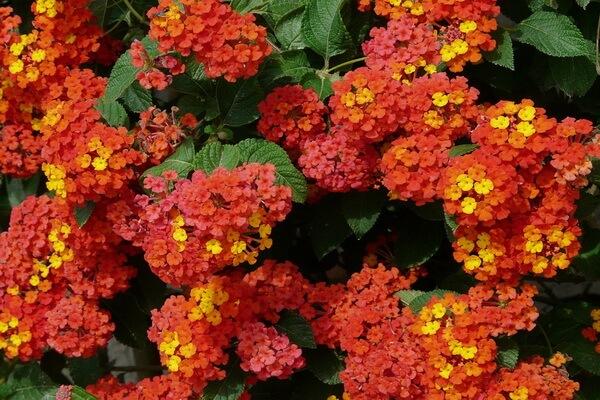 Красивые ампельные цветы с фото и описанием - Лантана