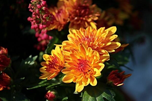 Фото красивых осенних цветов - Хризантемы