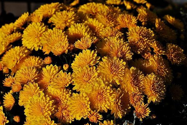 Красивые осенние цветы с фото и описанием - Хризантемы