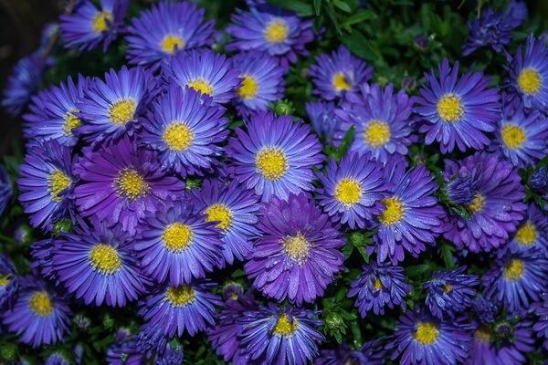Красивые цветы, которые цветут осенью - Астры