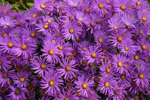 Фото красивых осенних цветов - Астры
