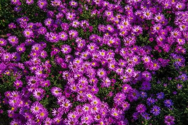 Красивые осенние цветы с фото и описанием - Астры