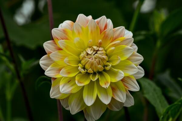Красивые цветы, которые цветут осенью - Георгины