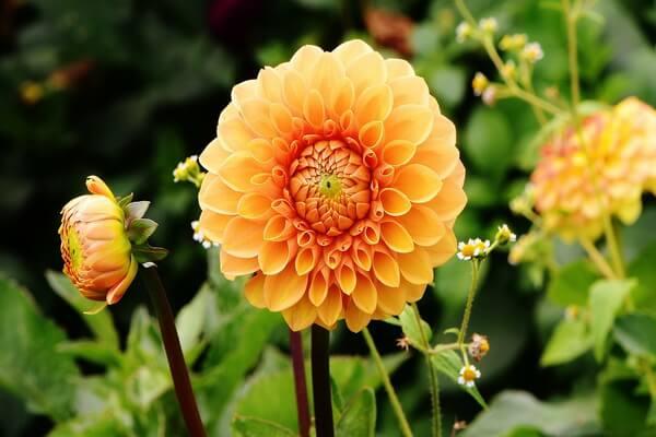 Фото красивых осенних цветов - Георгины