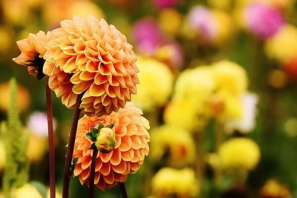 Красивые осенние цветы с фото и описанием - Георгины