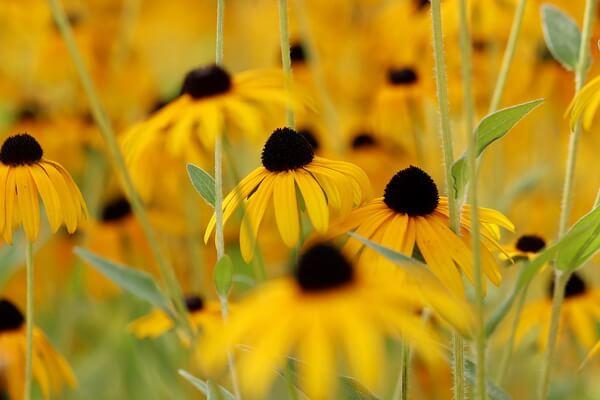 Фото красивых осенних цветов - Рудбекия