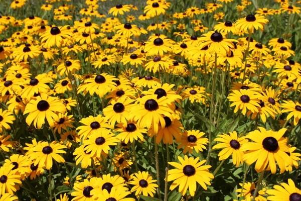 Красивые осенние цветы с фото и описанием - Рудбекия