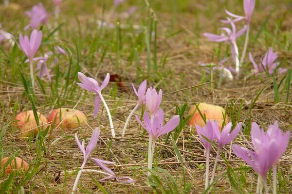 Красивые цветы, которые цветут осенью - Колхикум или безвременник