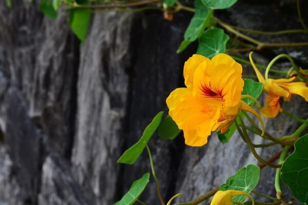 Красивые цветы, которые цветут осенью - Настурция