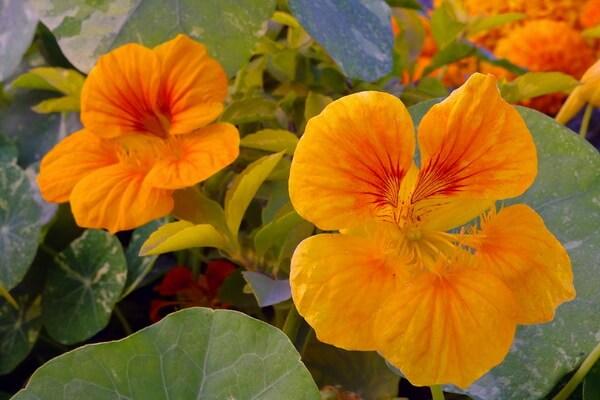 Фото красивых осенних цветов - Настурция