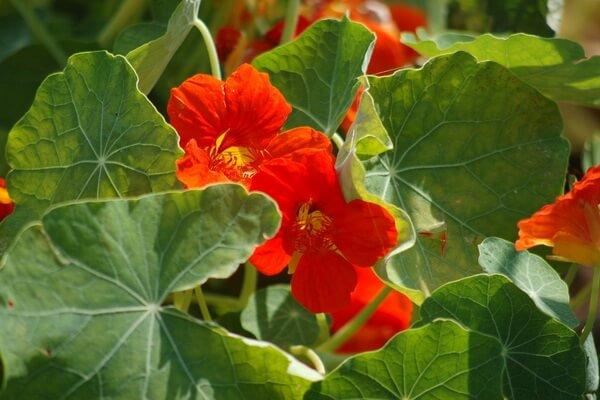 Красивые осенние цветы с фото и описанием - Настурция