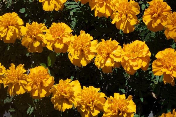 Фото красивых осенних цветов - Бархатцы
