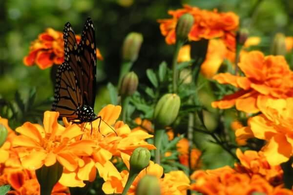 Красивые осенние цветы с фото и описанием - Бархатцы