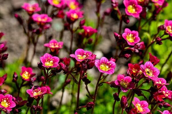 Фото цветов, которые цветут осенью - Камнеломка