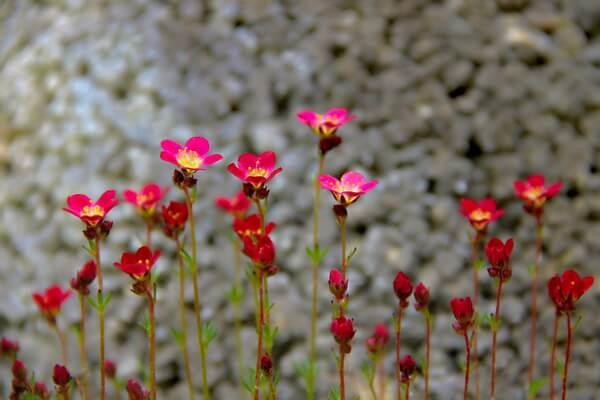 Цветы, которые цветут осенью - Камнеломка
