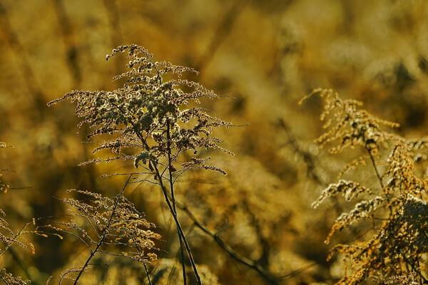 Фото красивых осенних цветов - Золотарник