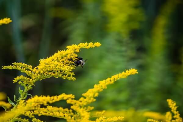 Красивые осенние цветы с фото и описанием - Золотарник