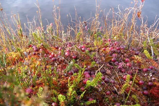 Красивые осенние пейзажи - Клюква на болоте осенью