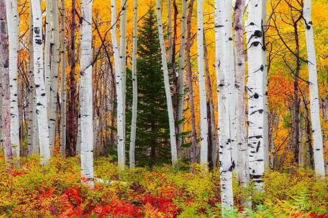 Красивые осенние пейзажи для вдохновения - Берёзовая роща осенью