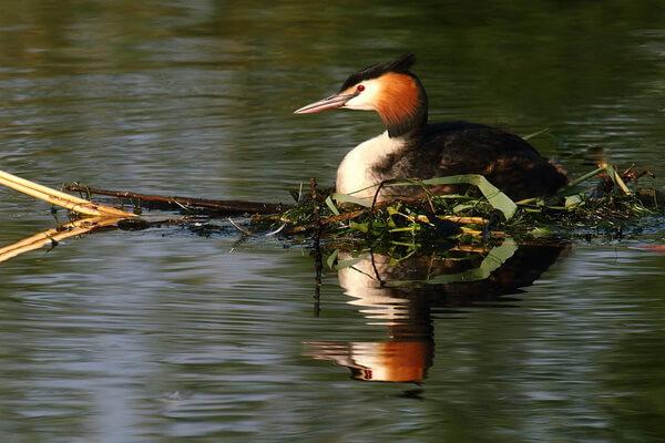 Красивые птицы с хохолком (фото и описание) - Большая поганка или чомга