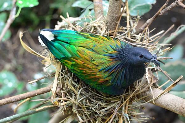 Красивые птицы с хохолком (фото и описание) - Гривистый или никобарский голубь