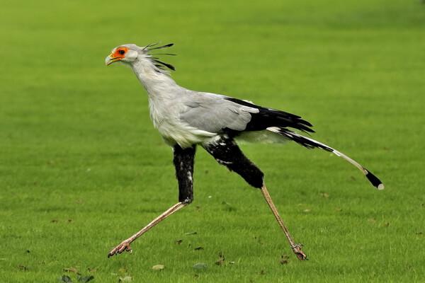 Красивые птицы с хохолком (фото и описание) - Птица-секретарь