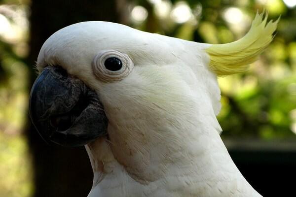 Красивые птицы с хохолком (фото и описание) - Большой желтохохлый какаду