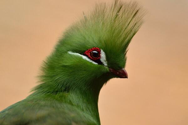 Красивые птицы с хохолком (фото и описание) - Гвинейский турако
