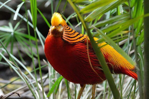 Красивые птицы с хохолком (фото и описание) - Золотой фазан
