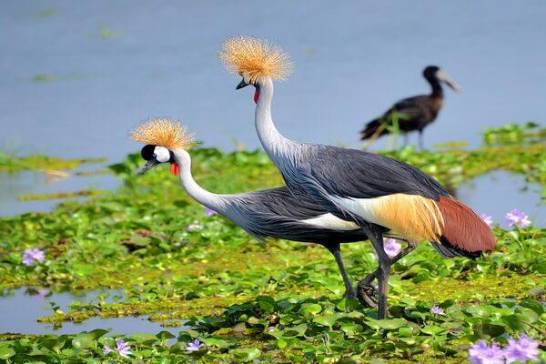 Красивые птицы с хохолком (фото и описание) - Восточный венценосный журавль