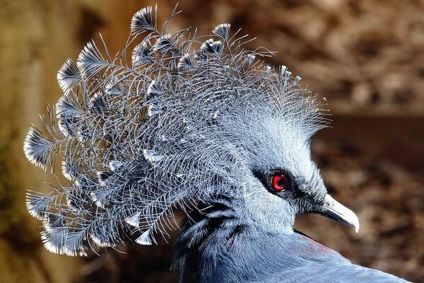 Красивые птицы с хохолком (фото и описание) - Веероносный венценосный голубь