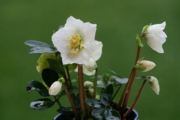Красивые зимние цветы с фото и описанием - Рождественская роза