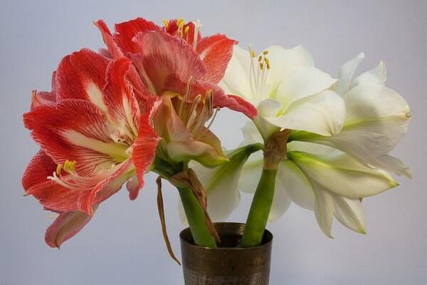 Красивые зимние цветы с фото и описанием - Амариллис