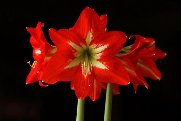 Красивые зимние цветы - Амариллис