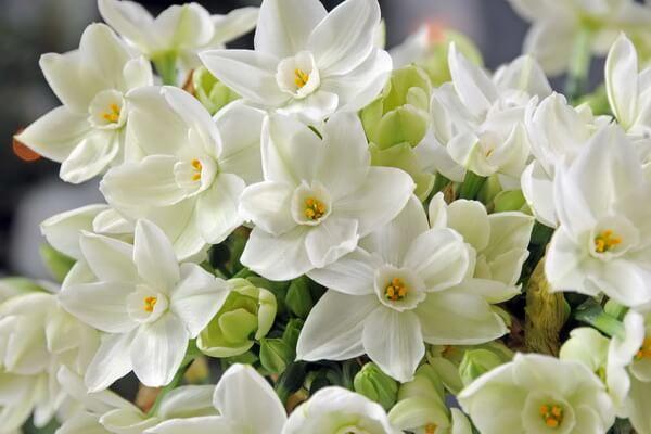 Красивые зимние цветы с фото и описанием - Нарцисс бумаговидный