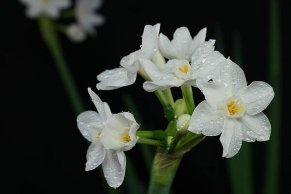 Красивые зимние цветы с фото - Нарцисс бумаговидный
