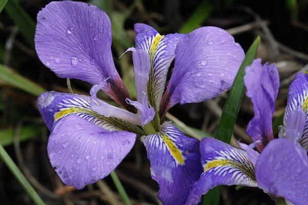 Красивые зимние цветы с фото и описанием - Зимний сорт ириса «Mary Barnard»