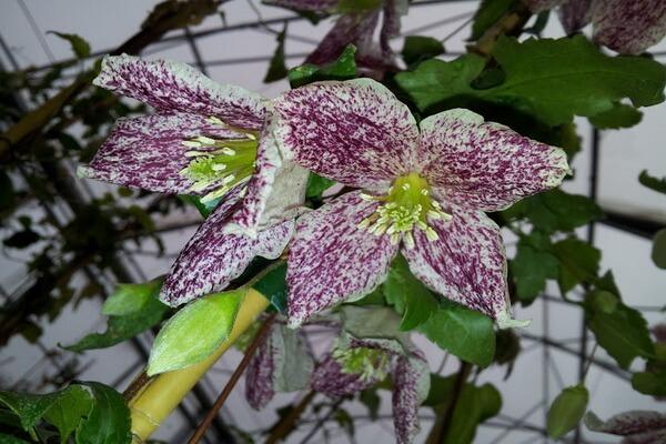Красивые зимние цветы с фото и описанием - Клематис усатый «Фреклес»