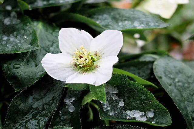 Красивые зимние цветы - фото и описание